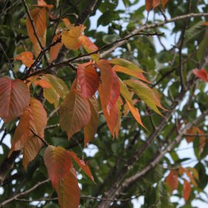 Autumn Content Ideas - Tree with Coloured Leaf